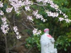 龍泉寺のシダレザクラ20170416(2)