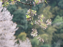 龍泉寺の桜20170416