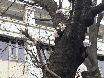 東京女学館の桜