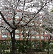 海城中の桜
