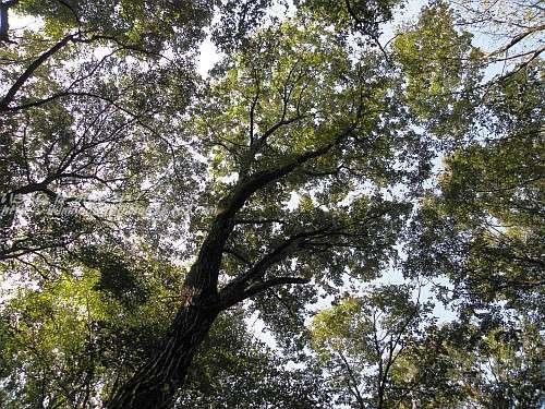 見上げたコナラの木
