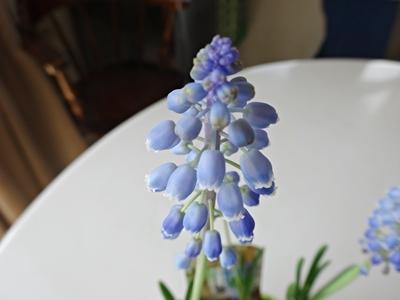 ムスカリ可愛く咲いています