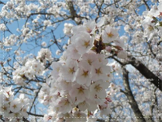 2017_桜_3