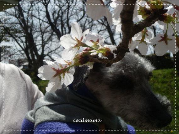 2017_桜とセシル