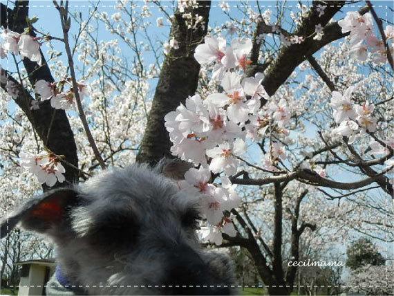2017_桜とセシル_1