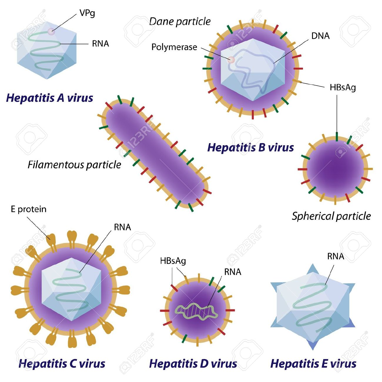 12921610-Hepatitis-viruses-comparison-Stock-Vector-hepatitis-virus-viral.jpg