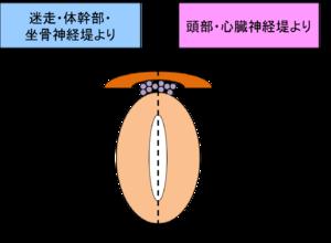 300px-図2_神経堤からの分化