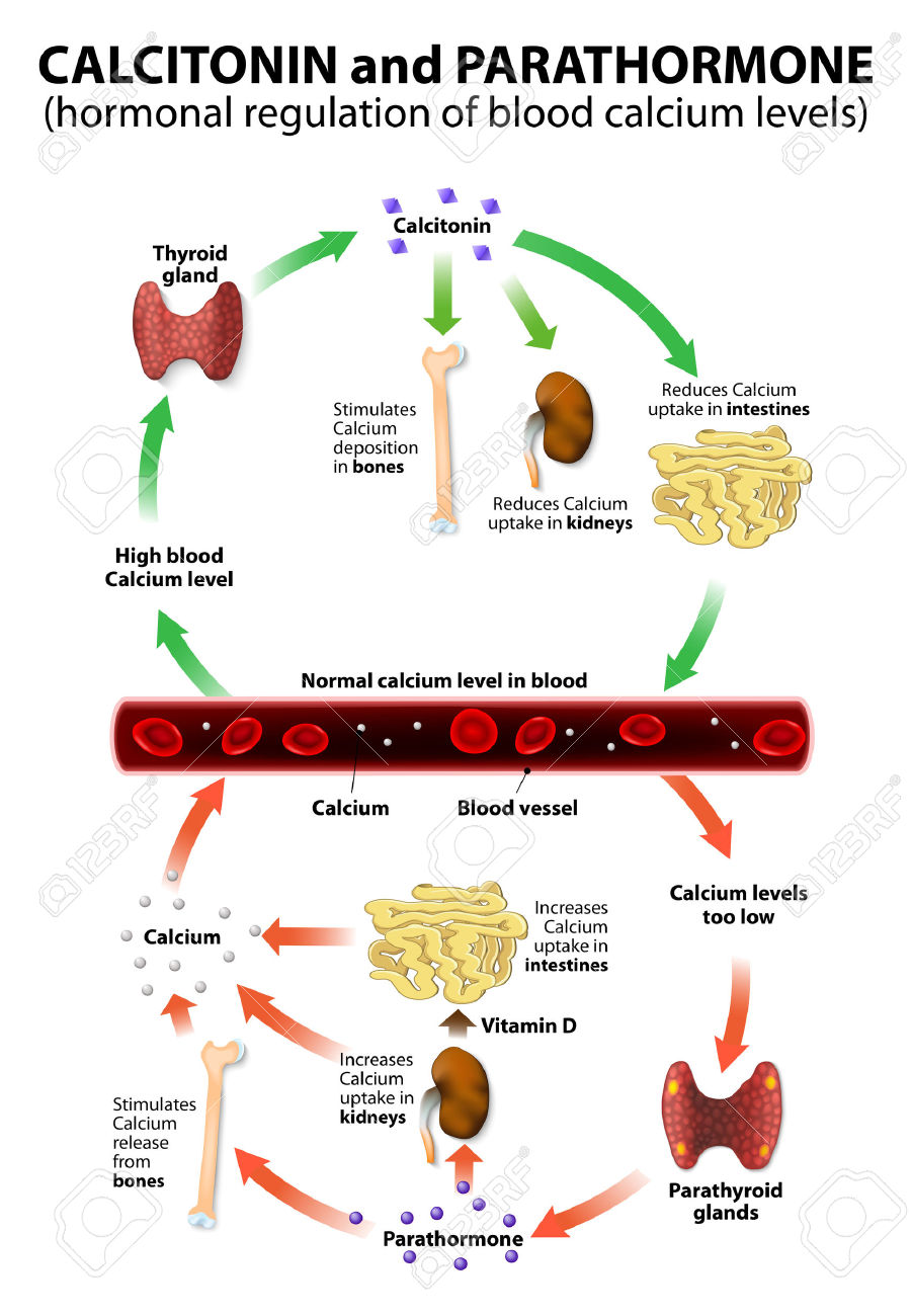 44929454-calcitonin-and-parathormone-Hormonal-regulation-of-blood-calcium--Stock-Photo.jpg