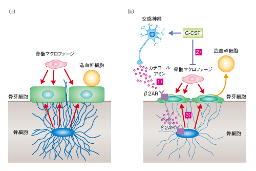 Katayama-Cell-Stem-Cell-13_6_6-Fig_2.png