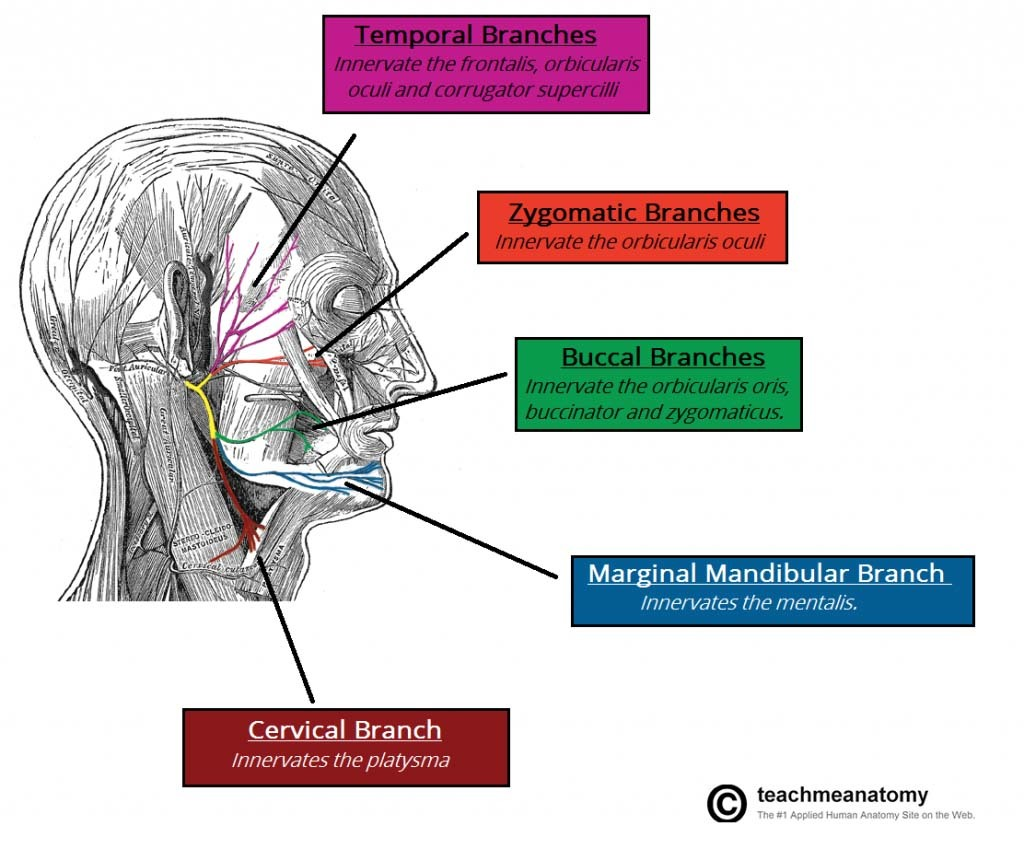 Motor-Branches-of-the-Facial-Nerve-1024x849.jpg