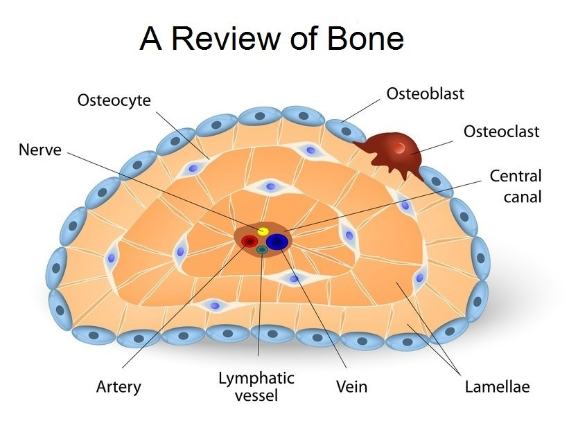 bone-doctor-explains-bone-cells-including-osteocytes.jpg