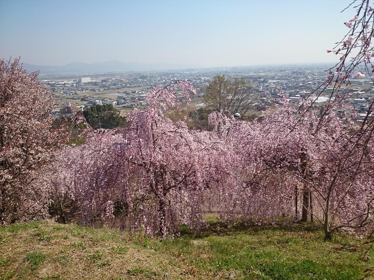 桜 花見 徳島文理大学 学生マンション