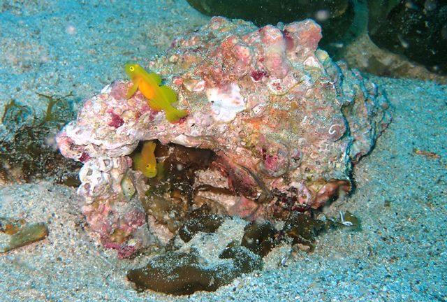 ニシ貝に住むミジンペアweb