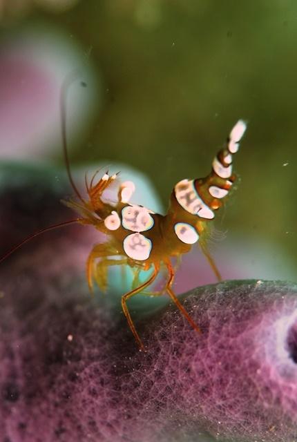 イソギンチャクモエビweb