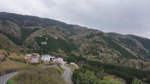 th_つるぎ町柴内 山桜