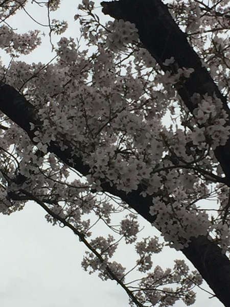 センチュリーの桜 014