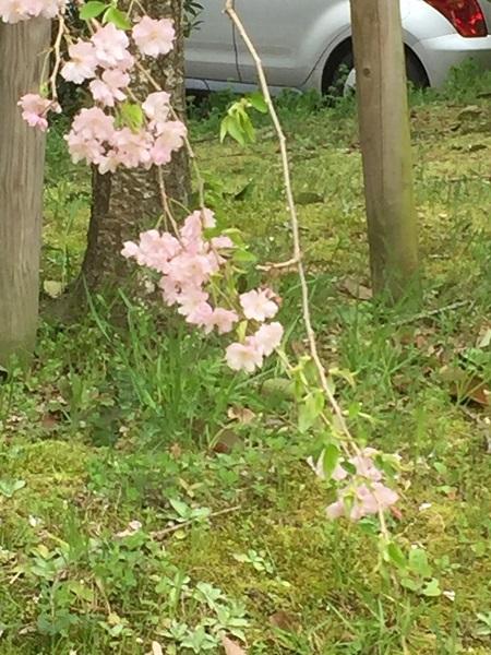 センチュリーの桜 035