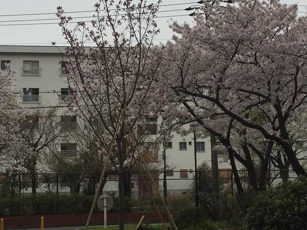 センチュリーの桜 040
