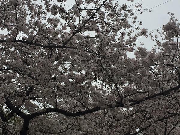 センチュリーの桜 041