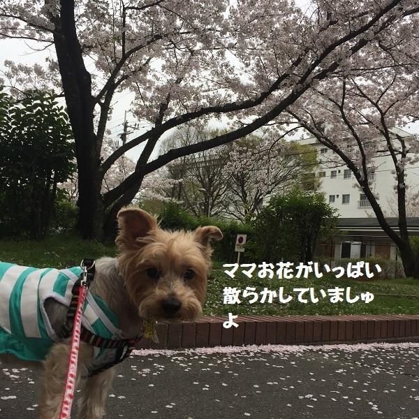 センチュリーの桜 045