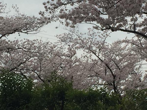 センチュリーの桜 055