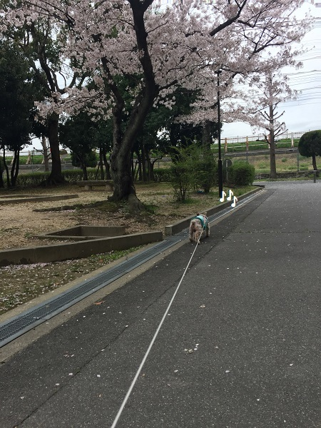 センチュリーの桜 061