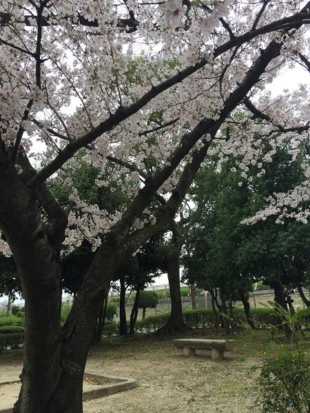 センチュリーの桜 065