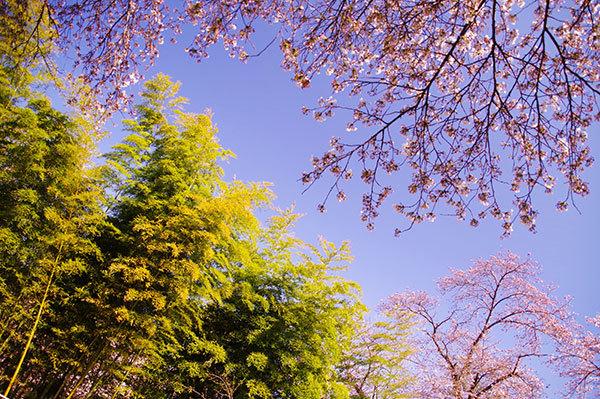 紫波町 城山公園の桜と竹