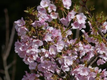 牧野植物園 カワヅザクラ