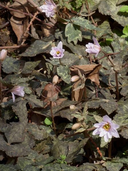 牧野植物園 ユキワリイチゲ 6