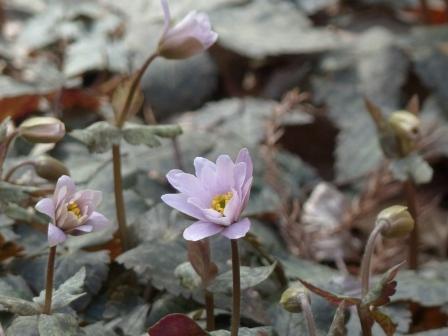 牧野植物園 ユキワリイチゲ 9