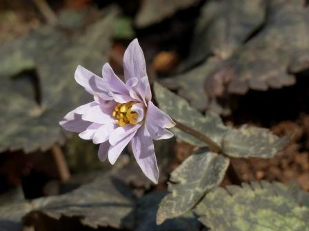 牧野植物園 ユキワリイチゲ 10