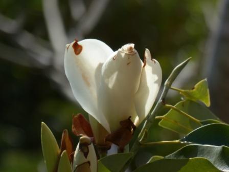 牧野植物園 ミクリア・マウディアエ 1