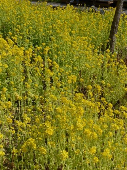 牧野植物園 菜の花