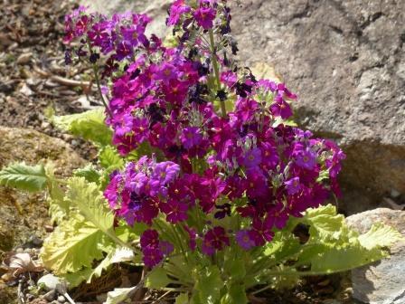 牧野植物園 ケショウザクラの園芸品種 2