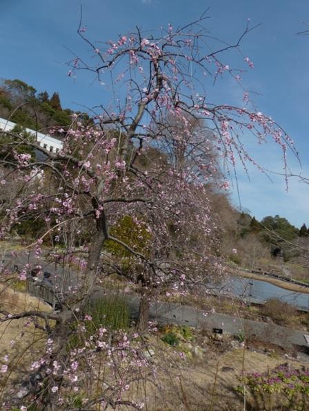 牧野植物園 枝垂れ梅