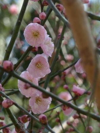 牧野植物園 梅 3
