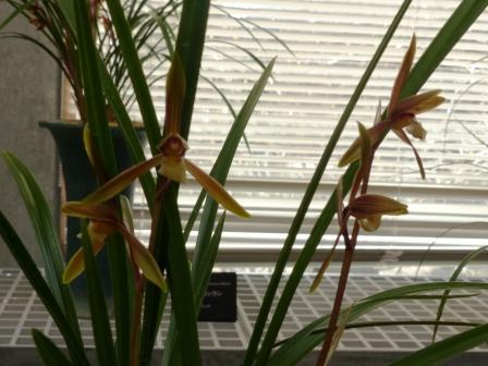 牧野植物園 春寒蘭 「一条の司」