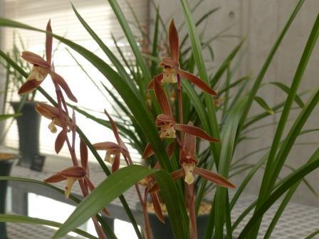 牧野植物園 春寒蘭 「一条の誉」