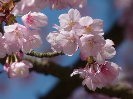 三島神社 薄紅寒桜 8