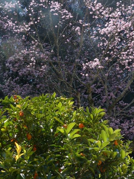 三島神社 薄紅寒桜 & 日本たちばな