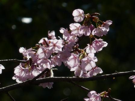 三島神社 薄紅寒桜 9