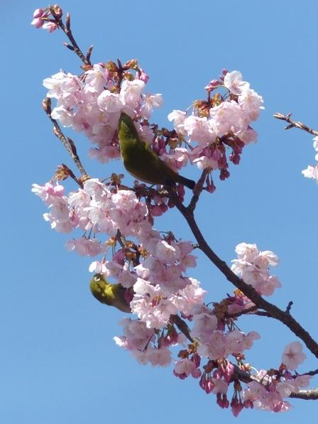 薄紅寒桜 & メジロ 7