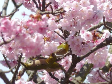 薄紅寒桜 & メジロ 8