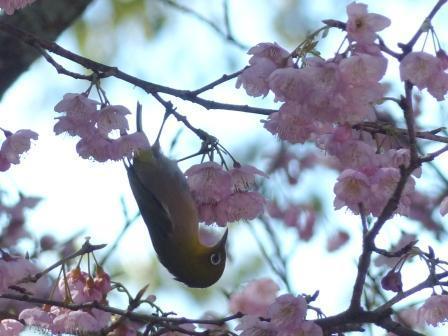 薄紅寒桜 & メジロ 4
