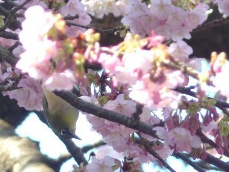 薄紅寒桜 & メジロ 5