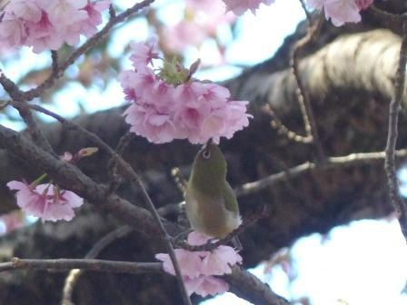 薄紅寒桜 & メジロ 6
