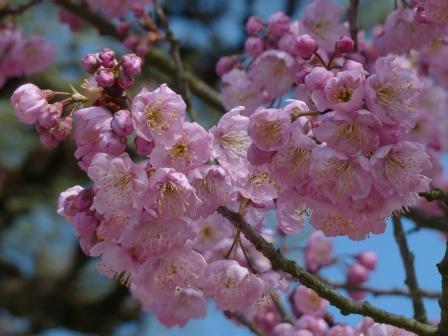 道後公園 椿寒桜 3