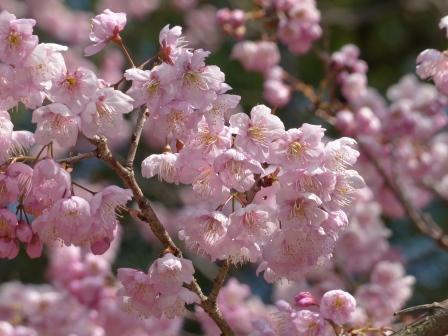 堀之内公園 椿寒桜 2