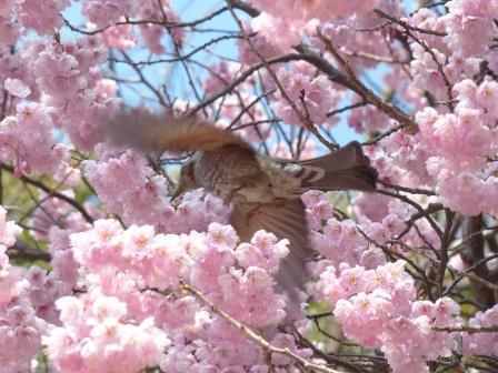 堀之内公園 椿寒桜 & ヒヨドリ 3